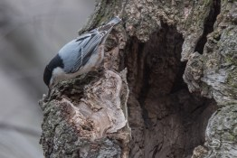 4 White-breasted Nuthatch, Central Park 3/23/2016